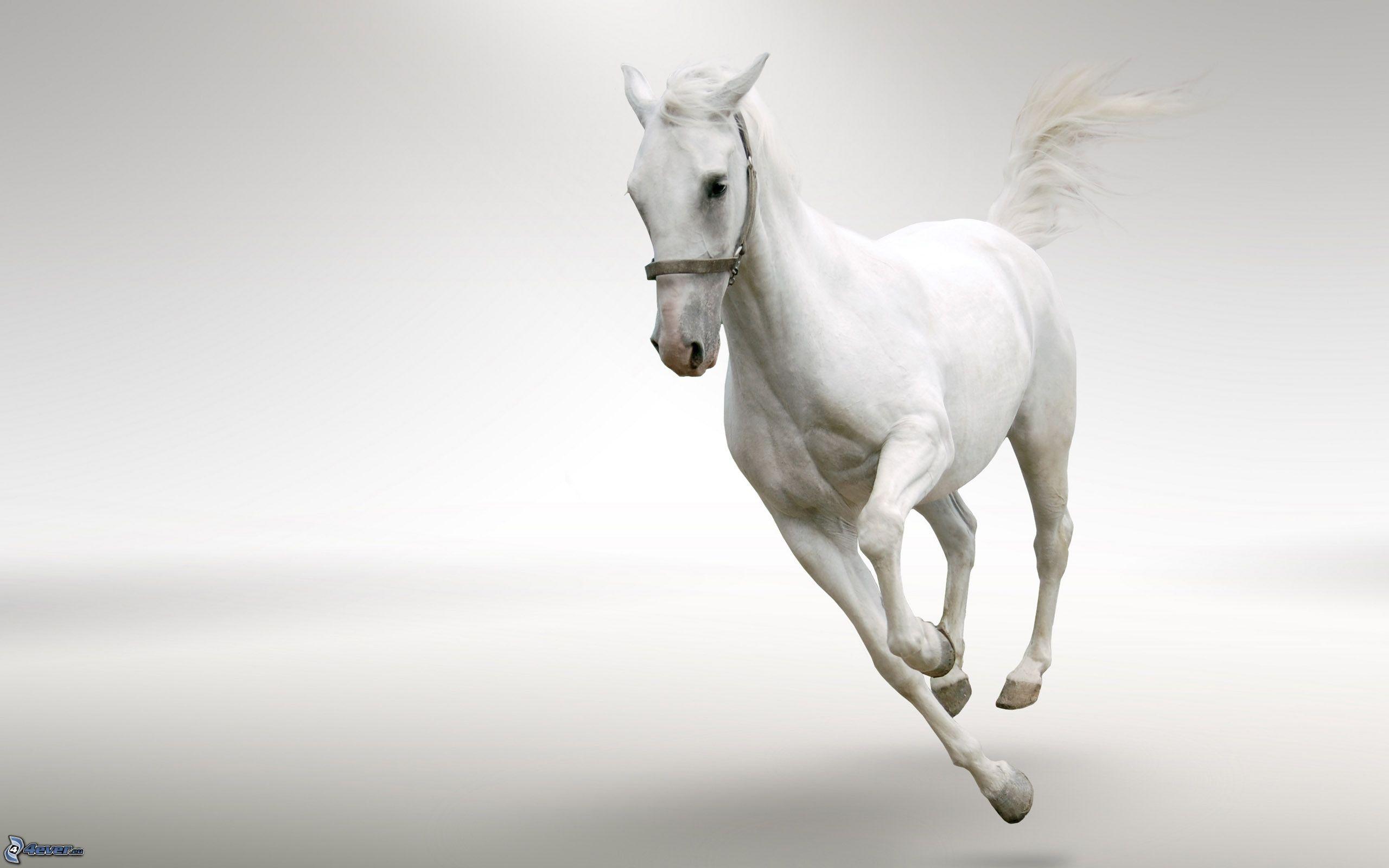 cavallo-bianco